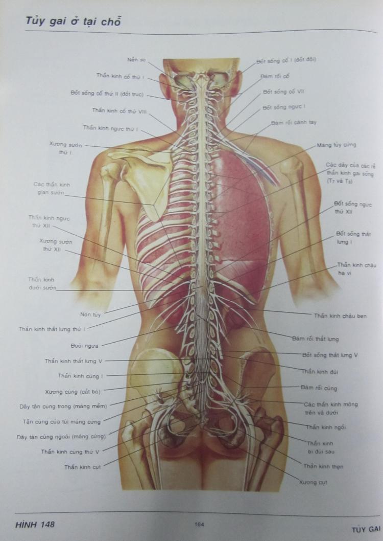 """Một trang """"Atlas giải phẫu người"""" của Frank H. Netter do Nguyễn Quang Quyền dịch (NXB Y Học, Hà Nội, 1996). Ảnh: Phanxipăng"""