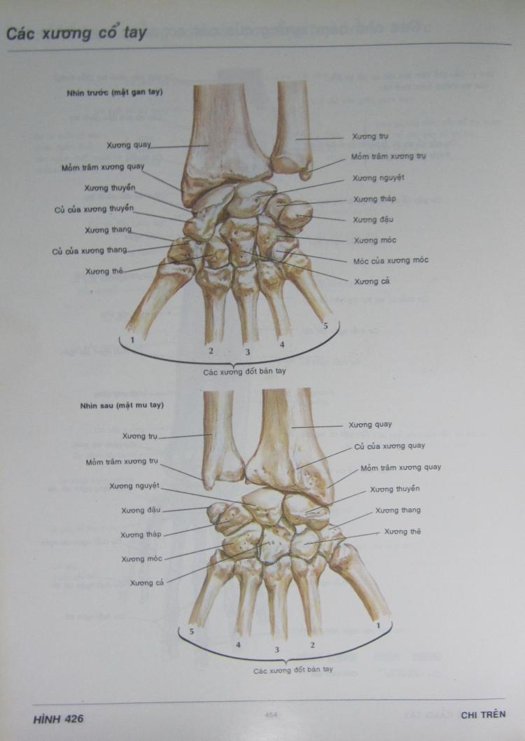 """Trích """"Atlas giải phẫu người"""" của Frank H. Netter do Nguyễn Quang Quyền dịch (NXB Y Học, Hà Nội, 1996). Ảnh: Phanxipăng"""