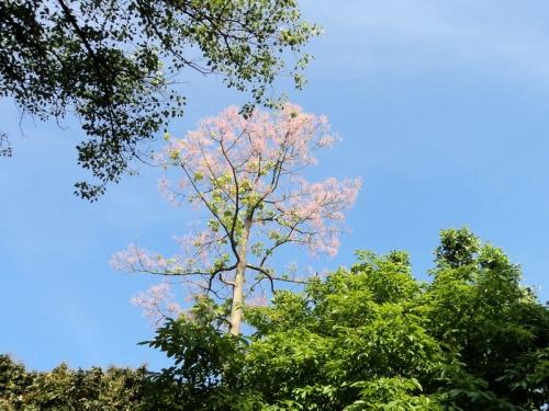 Ngô đồng trổ hoa trong công viên Tứ Tượng, Huế. Ảnh: Thuý Khanh