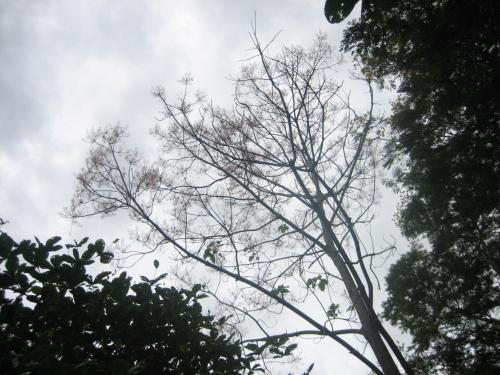 Ngô đồng trổ hoa trong công viên Thương Bạc, tả ngạn dòng Hương. Ảnh: Phanxipăng
