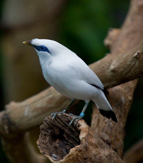 Chim sáo Bali, tiếng Pháp gọi étourneau de Bali, tiếng Anh gọi Bali starling, danh pháp khoa học là Leucopsar rothschildi Stresemann thuộc họ động vật Sturnidae. Ảnh: Brian