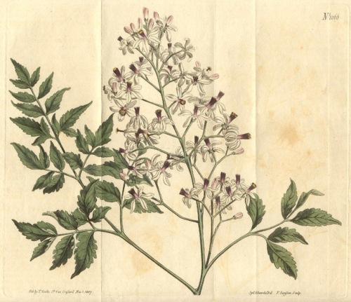 Francis Sansom dùng bằng màu nước vẽ tả thực lá và hoa xoan / sầu đâu