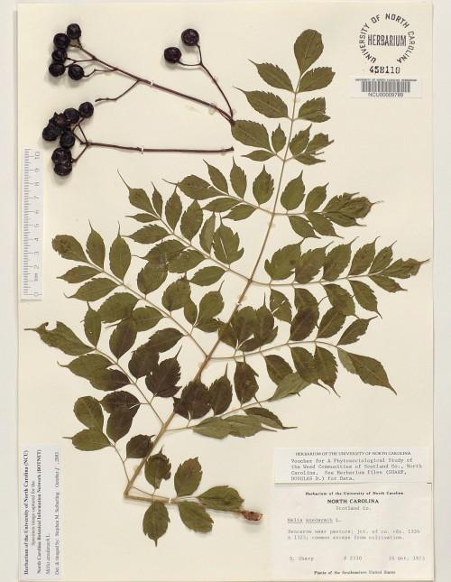 Tiêu bản lá và quả xoan / sầu đâu được thực hiện bởi Đại học Bắc Carolina, Hoa Kỳ