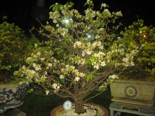 Cây mai trắng đạt giải khuyến khích Hội hoa xuân Mậu Tý 2008 tại Sài Gòn. Ảnh:Phanxipăng