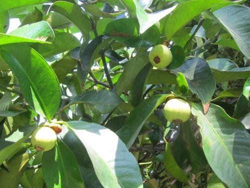 Măng cụt trong vườn cây trái Lái Thiêu. Ảnh: Phanxipăng