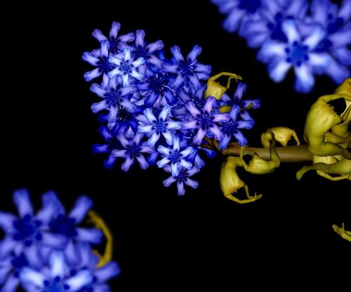 Blue Lilac / Tử đinh hương xanh