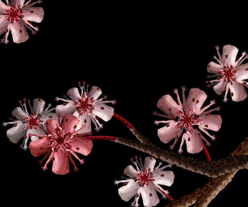 Cherry blossom / Hoa anh đào