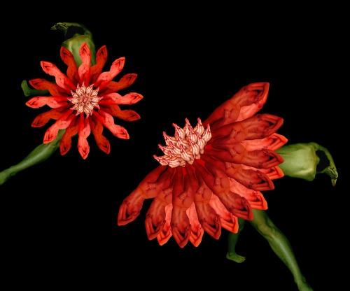 Dragon Flower / Long hoa