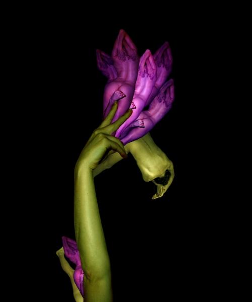Purple Tulip / Uất kim hương tím