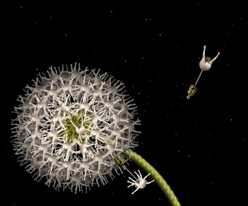 White Dandelion / Bồ công anh trắng