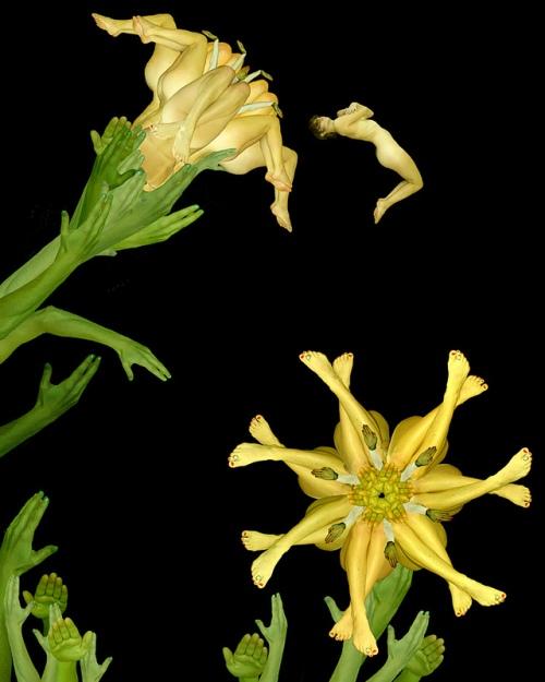 Yellow Lily / Huệ tây vàng