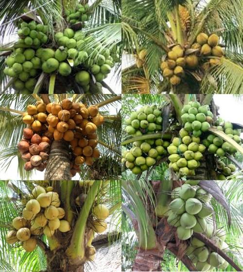 6 trong nhiều giống dừa ở Bến Tre. Ảnh: BTCA / Ben Tre Coconut Association / Hiệp hội Dừa Bến Tre